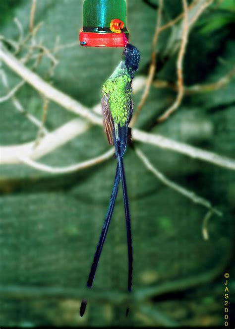 honey bird at a nectar feeder honeybird001 jpg image only