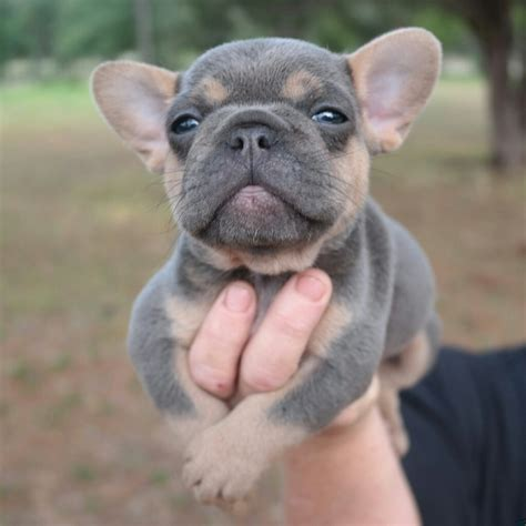 frenchie puppy bulldog puppy teh