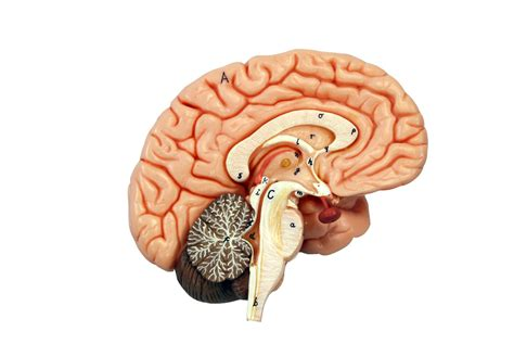 for the brain brain human anatomy web site