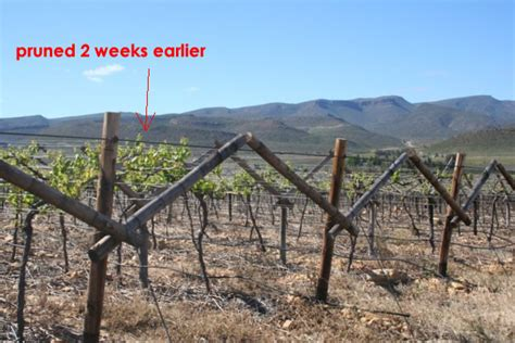 will pruning a grape vine earlier advance bud break free grape growing tips and help to grow
