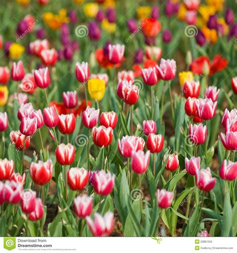 tulips in the garden royalty free stock photo image 23861555