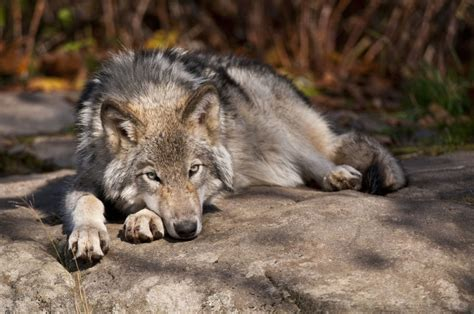 difference between wolves and dogs a fascinating difference between pet dogs and wolves