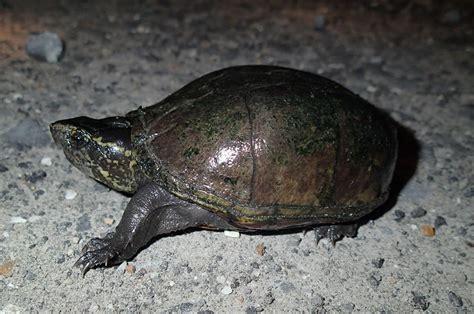 louisiana map turtle eastern mud turtle kinosternon subrubrum hibians
