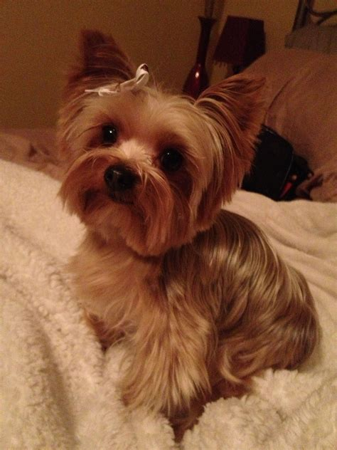 yorkie haircuts photos perfect yorkie haircut yorkie cute cuts pinterest