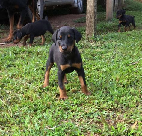 difference between doberman and rottweiler puppies doberman rottweiler and caucasian are available pets nigeria