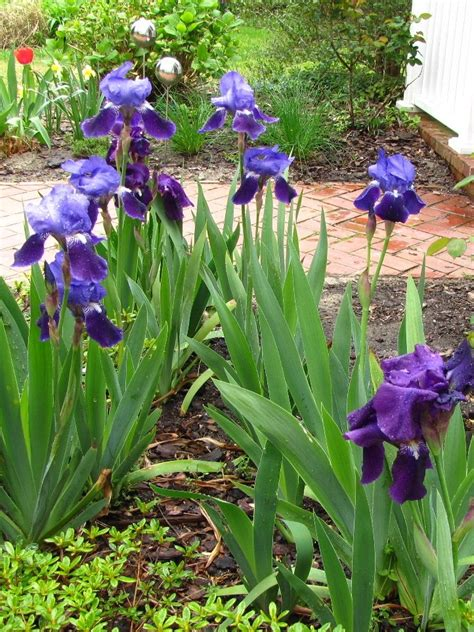 views from the garden bearded iris plant and care guide