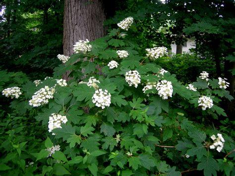 shade hydrangea gar carolyn s shade gardens