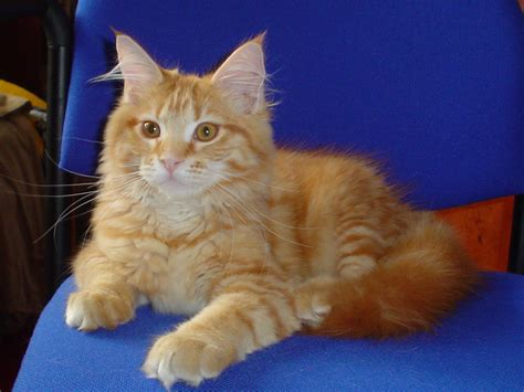 maine coon cat breed amazing dogs breeds maine coon cat