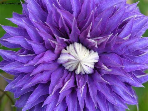 foto fiore viola fiore viola