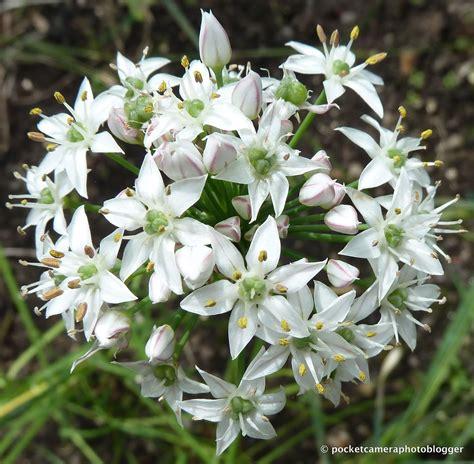 garlic flower photos of nature photos of garlic flowers