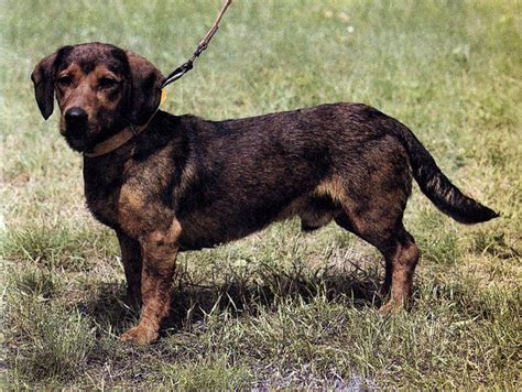Pin by Dog Breeds on Alpine Dachsbracke | Pinterest