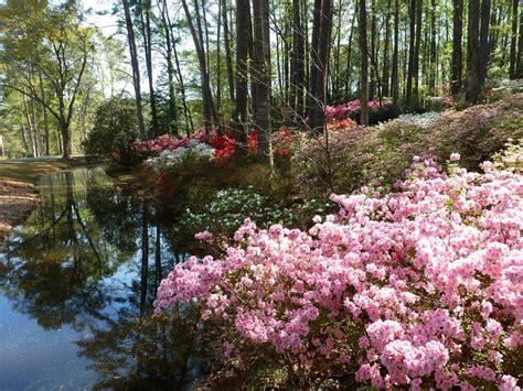 Callaway Gardens by Recollections Of A Vagabonde Azaleas At Callaway Gardens