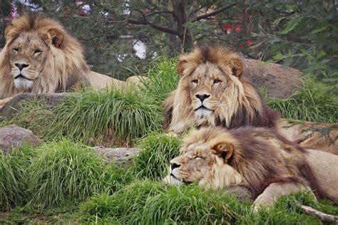 animal wildlife king  jungle lion wallpapers hd