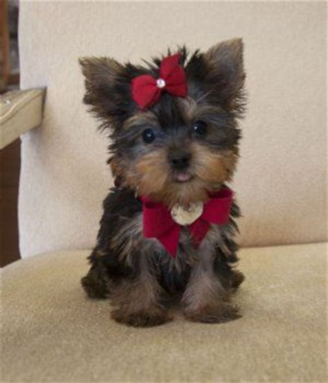 teacup yorkie with bow teacup yorkie yorkie and stop it on