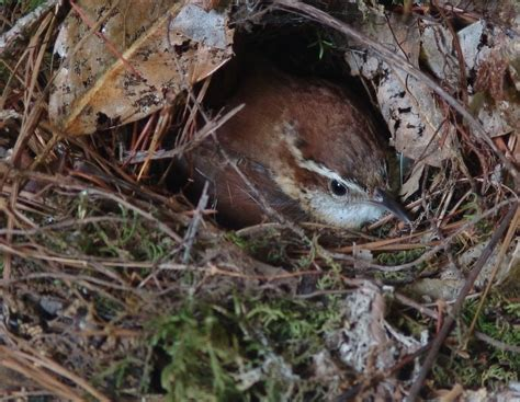 carolina wren nest birds swallows wrens pinterest