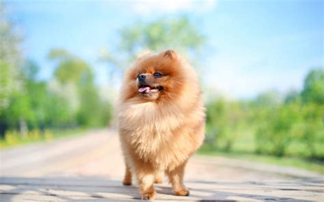 pomeranian do they shed anxiety remedies a complete guide canna pet 174