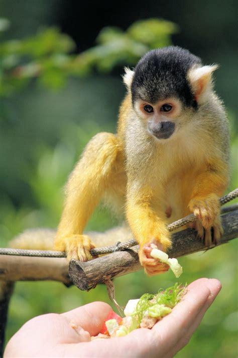 Affe Als Haustier by Affe Als Haustier Eine Neue Exotische Mode