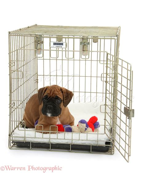 Dog: Boxer puppy, 12 weeks old, in a crate photo WP38039