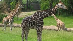 imagenes comicas de jirafas jirafas en australia son captadas comiendo golosinas y