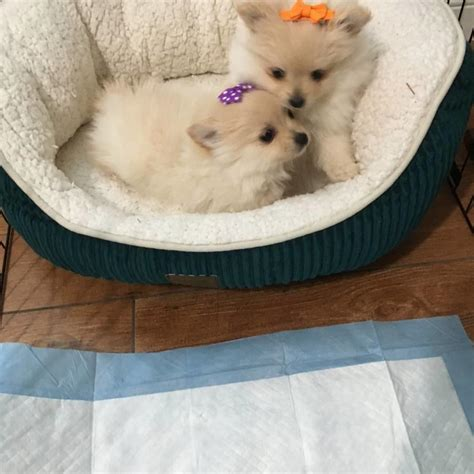 pomeranian for sale in las vegas pomeranian puppies for sale las vegas nv 262597