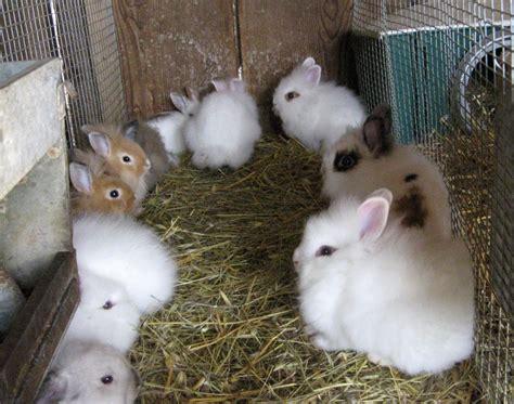 alimentazione conigli nani come allevare coniglio nano ariete fare di una mosca