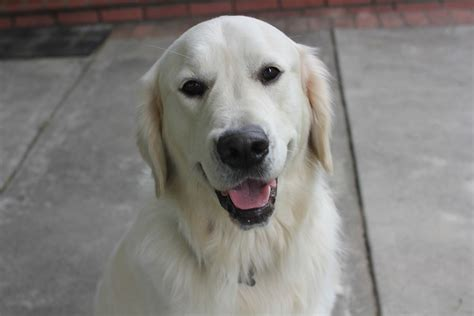 european golden retrievers pin european golden retriever on