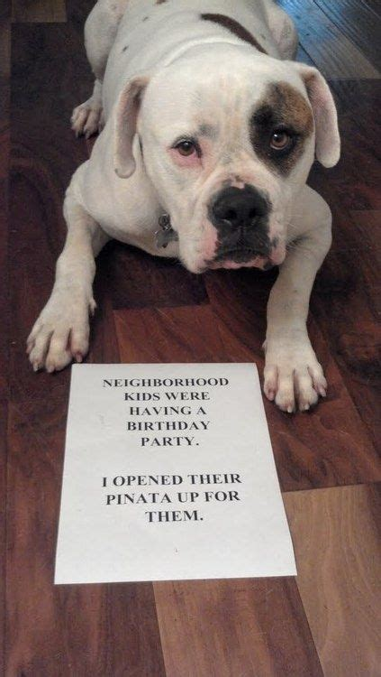 puppy shaming the best of shaming boxers