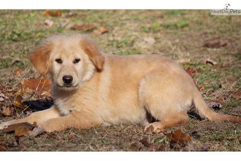 miniature golden retriever puppies for sale golden retriever puppy for sale near grand rapids michigan 3a0962b3 d591