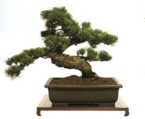 Bonzi Tree | all hd bonsai