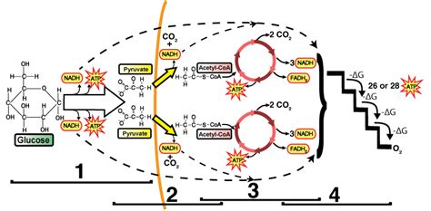 inkscape tutorial ks2 diagram cell respiration choice image how to guide and
