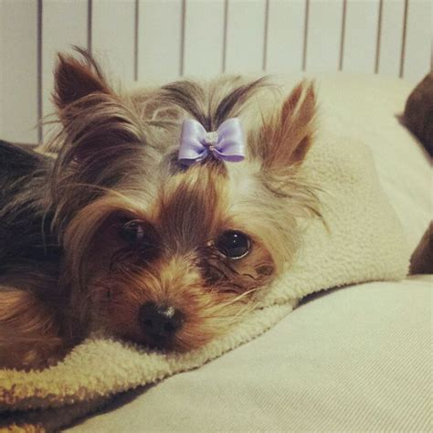 yorkie bows yorkie puppy with bow breeds picture