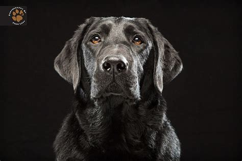 black dog beautiful portraits of black dogs help these oft