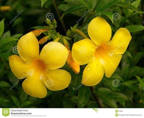 Alamanda Set alamanda flowers royalty free stock photography image 20557