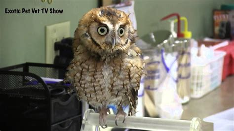 cool screech owl noise exotic pet vet youtube