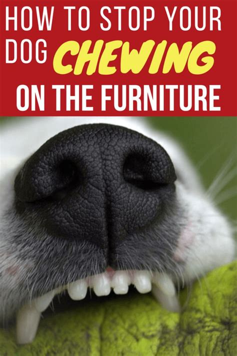 how to stop puppy from chewing furniture 1000 ideas about stop chewing on puppy teething care and puppy care