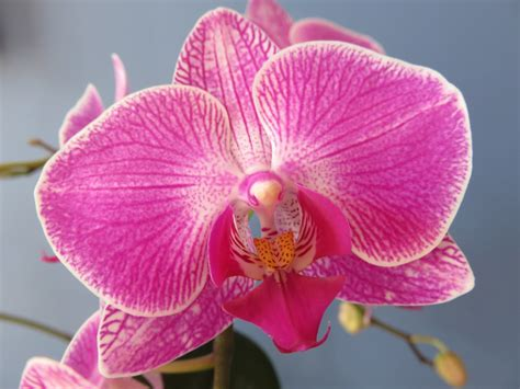moth orchids free photo phalaenopsis orchid flower free image on