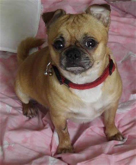 pug mixes chug chihuahua pug mix dogable