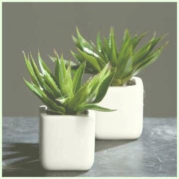 Kaktus Zimmerpflanze by Sukkulente Kaktus Zimmerpflanzen Callidum