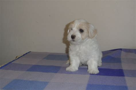coton puppies for sale coton de tulear puppies for sale ipswich suffolk pets4homes