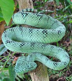 Limited Baju 3d Persija Inside Distributor Baju 3d homalopsis bucata by seagate sioux ular snake sioux