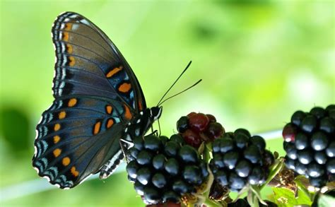 of a butterfly how to bring back butterflies make vineyards sustainable
