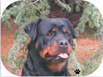 juffther rottweilers dabraco rottweilers