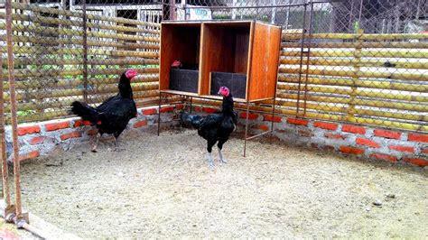 Alas Kandang Ayam Bangkok kandang ayam bangkok yang sehat ayam bangkok asli
