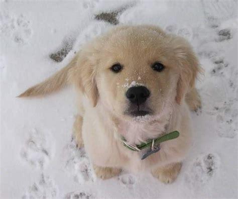 golden retriever puppy in snow golden retriever puppy snow www pixshark images galleries with a bite