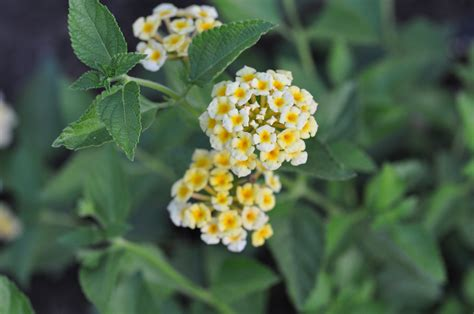 is lantana poisonous to dogs dogs kerrian s notebook