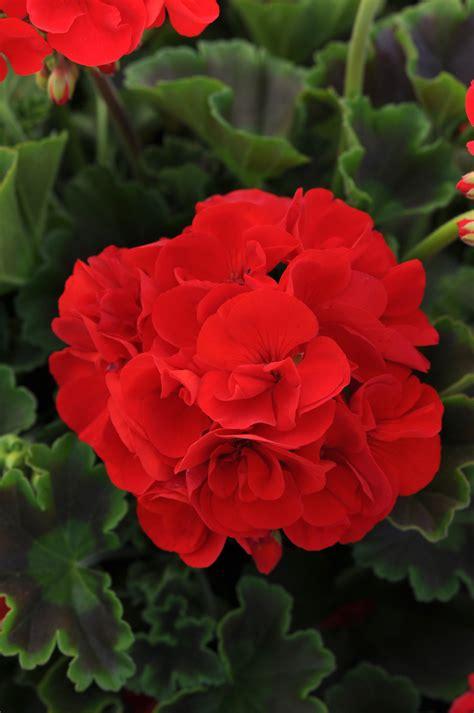 zonal geranium sunrise bright red  pot squak mt nursery
