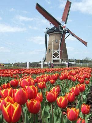 Jual Bibit Bunga Tulip Murah beberapa fakta tentang bunga tulip yang belum banyak