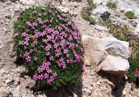piante e fiori di montagna giardinaggio fiori di montagna le 8 specie pi 249 diffuse