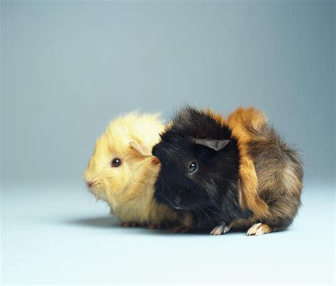 How to Care for Pet Guinea Pigs
