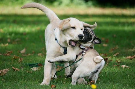 pug labrador pug labrador pugs